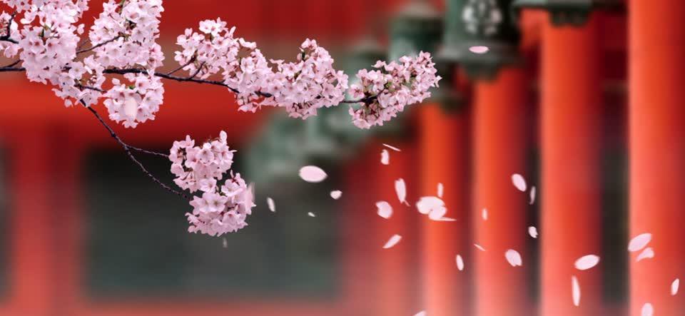 799099691-planer-sakura-cerisier-petale